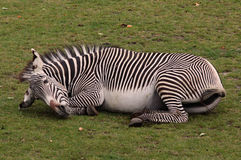 Luie zebra Stock Afbeelding