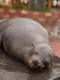 Luie zeeleeuw Stock Fotografie