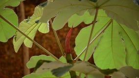 Luifel en fruit van embaubaboom Cecropia stock video