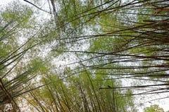 Luifel tegen de hemel door lange bamboebomen die wordt gevormd stock foto's