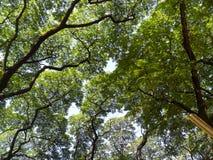 Luifel van bomen in de zomer Stock Fotografie