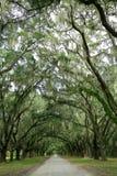 Luifel van eiken bomen die in mos worden behandeld Eiland van hoop, Stock Foto's