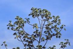 Luifel van embaubaboom Cecropia die op de blauwe hemel glanzen Royalty-vrije Stock Afbeeldingen