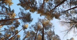 Luifel van Lange Sneeuwpijnboombomen Hogere Takken van Hout in Naaldforest winter pinewood, Brede Hoek van Lange Dun stock videobeelden