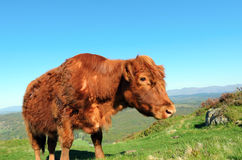 Luing Cow above Lake Windermere Stock Photos
