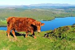 Luing Cow above Lake Windermere Stock Photo