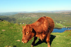Luing Cow above Lake Windermere Royalty Free Stock Image
