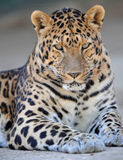 Luipaard 1 van Amur Stock Foto