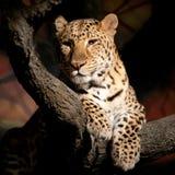 Luipaard Stock Foto