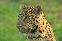 Luipaard. stock fotografie