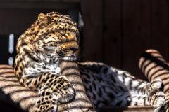 Luipaard Stock Afbeelding