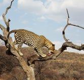 Luipaard Royalty-vrije Stock Afbeelding