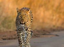 Luipaard royalty-vrije stock fotografie