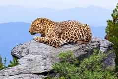 Luipaard bij wildnessgebied stock afbeelding