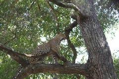 Luipaard in boom Stock Afbeelding