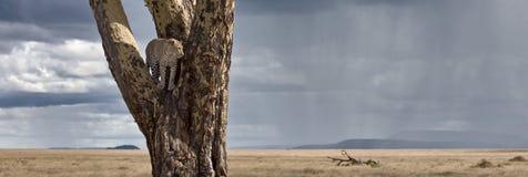 Luipaard in boom in Nationaal Park Serengeti Royalty-vrije Stock Afbeelding