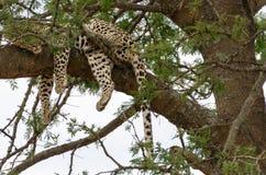 Luipaard in Boom, Serengeti Royalty-vrije Stock Afbeeldingen