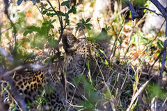Luipaard in Botswana Royalty-vrije Stock Fotografie