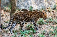 Luipaard in de aardhabitat Stock Afbeeldingen