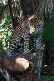 Luipaard in de bossen stock fotografie