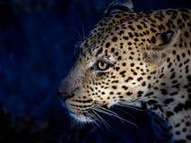 Luipaard de jacht bij nacht Stock Foto's