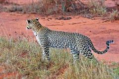 Luipaard in de savanne Stock Afbeelding