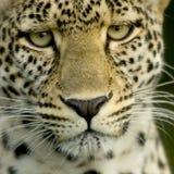 Luipaard in de serengeti nationale reserve stock foto's