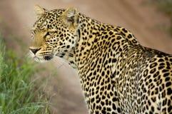Luipaard in de serengeti nationale reserve Stock Foto