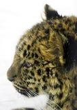 Luipaard in de winter Royalty-vrije Stock Afbeeldingen