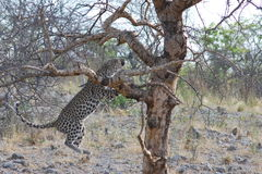 Luipaard die in boom in Namibië springen Royalty-vrije Stock Foto