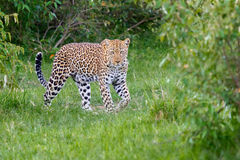 Luipaard die in bos lopen royalty-vrije stock afbeelding