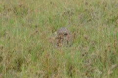 Luipaard die in de savanne in het Nationale Park van Serengeti lopen Stock Foto