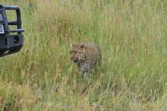 Luipaard die in de savanne in het Nationale Park van Serengeti lopen Stock Foto's