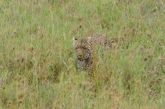 Luipaard die in de savanne in het Nationale Park van Serengeti lopen Stock Afbeeldingen