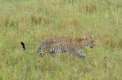 Luipaard die in de savanne in het Nationale Park van Serengeti lopen Royalty-vrije Stock Fotografie