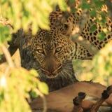 Luipaard die doden bewaken royalty-vrije stock foto