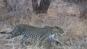 Luipaard die een prooi besluipen door zich stealthily te bewegen stock videobeelden