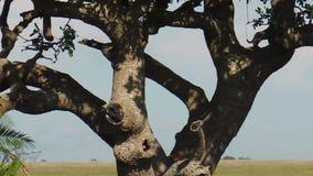 Luipaard die een prooi op een boom nemen stock videobeelden