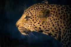 Luipaard die 2 jagen Stock Foto's