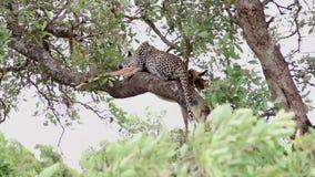 Luipaard die lunch op een boomtak hebben met impalaprooi stock videobeelden