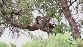 Luipaard die lunch op een boomtak hebben met impalaprooi stock footage