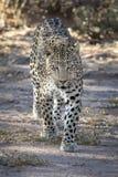 Luipaard die met overtuiging in de wildernis lopen stock foto