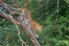 Luipaard die onderaan boom in de Kalahari beklimt Stock Foto's