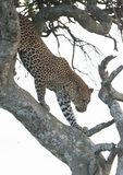 Luipaard die onderaan een boom in het avond licht in Masai Mara beklimmen Royalty-vrije Stock Foto's
