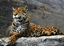 Luipaard die op de rotsen, Thailand liggen stock fotografie