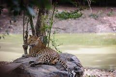 Luipaard die op steen dichtbij beek liggen Stock Foto