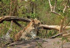 Luipaard die op Steen rusten Royalty-vrije Stock Fotografie