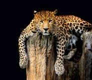 Luipaard die op zwarte achtergrond wordt geïsoleerd Stock Foto