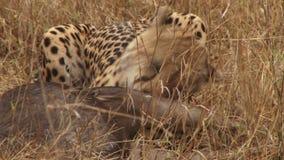 Luipaard die prooi eten stock videobeelden