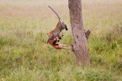 Luipaard die uit boom springen Stock Foto's